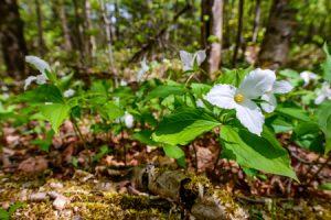 Trinity Lutheran - Trillium Flower